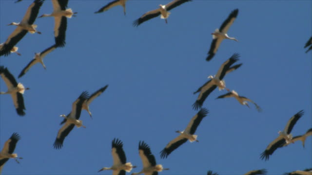 MS Large flock of white storks in sky / Judea Desert, Israel