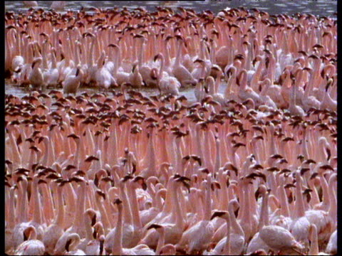 Large flock on pink flamingos on lake are lined up in rows and walk in alternate directions keeping their heads still.