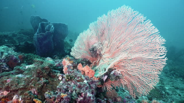 large gorgonian sea fan coral underwater coral reef - gorgonian coral stock videos & royalty-free footage