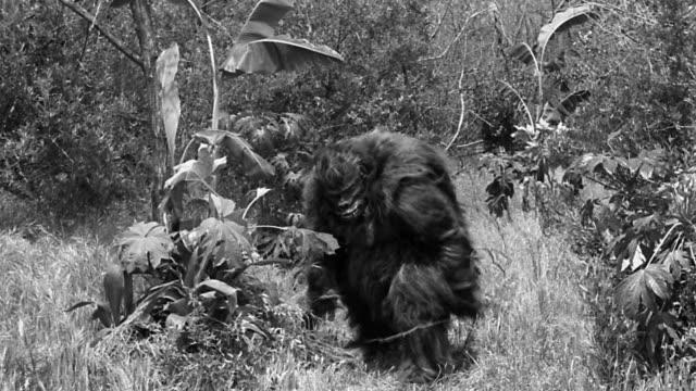 B/W large gorilla-like creature (costume) walking through brush, stopping, + looking around