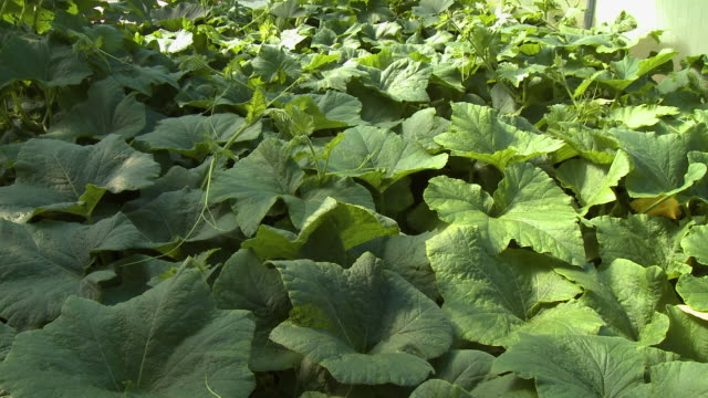 large gourd green leaves in garden - gourd stock videos & royalty-free footage