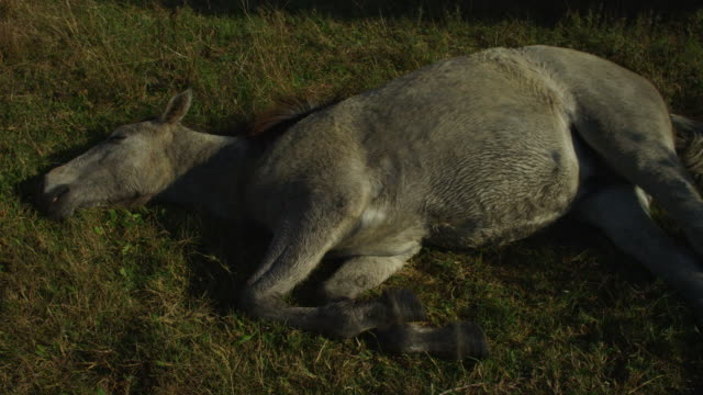 ms large grey camargue horse foal sleeping on grass tu to group - 横たわる点の映像素材/bロール