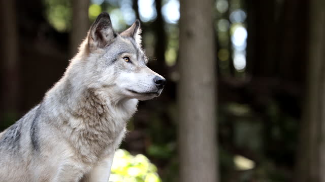 large grey wolf looking after rivals and danger in the forest - animal stock videos & royalty-free footage