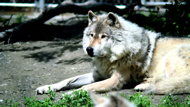 large grey wolf - columbia center stock videos & royalty-free footage