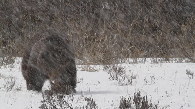 ms large grizzly (ursus arctos) walking toward the camera during a spring blizzard - mt moran stock videos & royalty-free footage