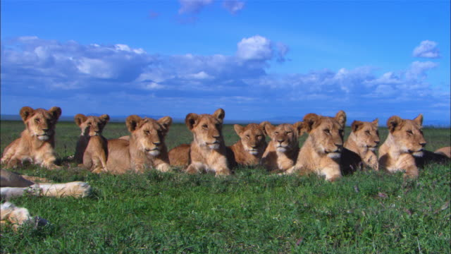 large group of african lion cubs very close to camera watch action out of frame  - resting stock videos & royalty-free footage