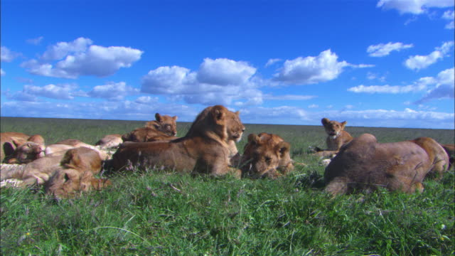 Large group of African lionesses and cubs rest in long grass then snap to attention