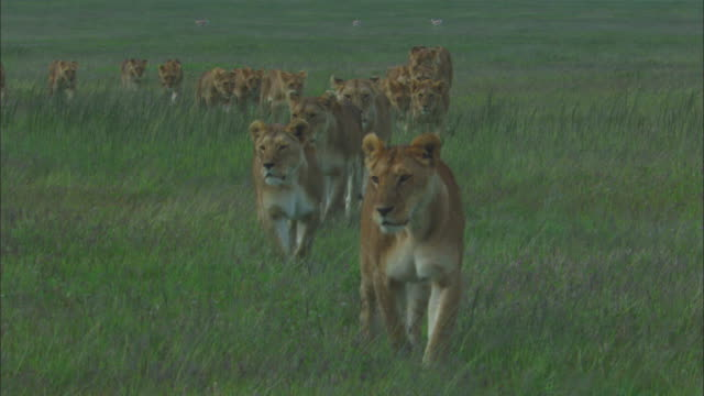 large group of african lionesses and cubs walk through grass towards camera - pride stock videos & royalty-free footage