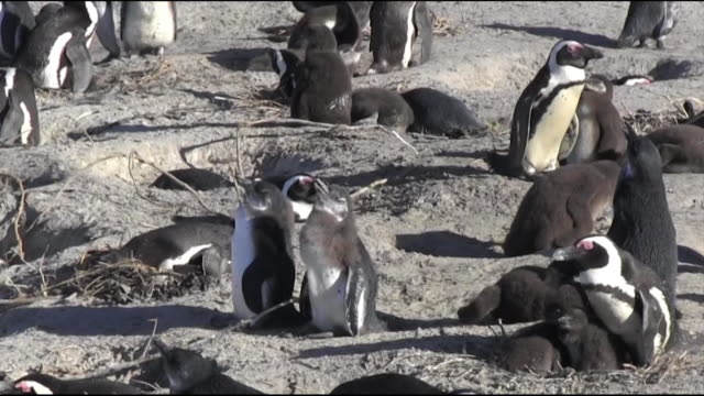 large group of african penguins - 鳥の巣点の映像素材/bロール