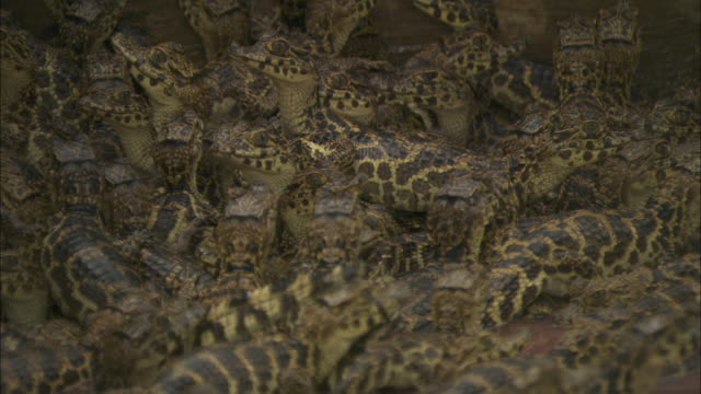 A large group of baby caiman huddle together.