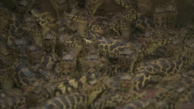 a large group of baby caiman huddle together.  - カイマン点の映像素材/bロール