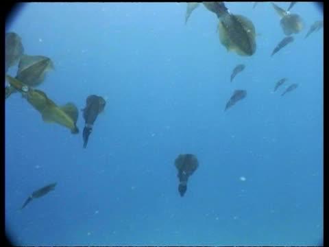 wa large group of bigfin reef squid swimming in shallows, pan right, mabul, borneo, malaysia - mabul island stock videos and b-roll footage