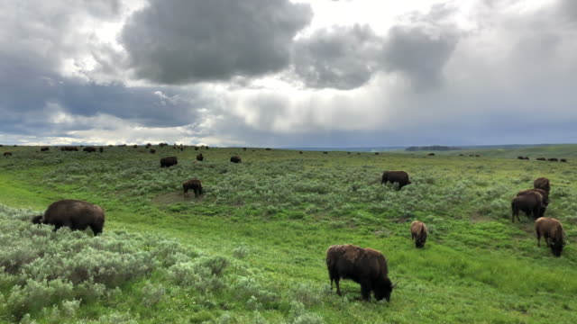 large group of bisons and clouds - 牧畜場点の映像素材/bロール