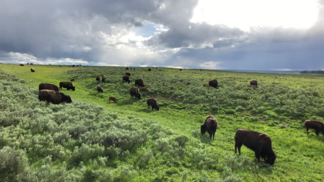 large group of bisons and clouds - wyoming stock-videos und b-roll-filmmaterial