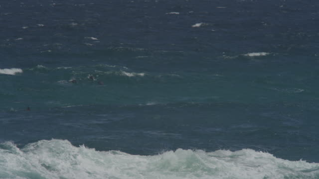 WS large group of Bottlenosed Dolphins floating in surf with breakers in foreground