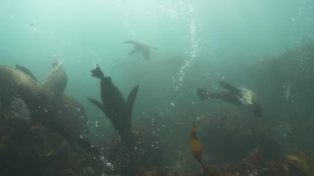 large group of brown fur seals playing underwater - kelp stock videos & royalty-free footage