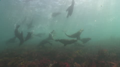 large group of brown fur seals underwater playing at camera - cape fur seal stock videos & royalty-free footage