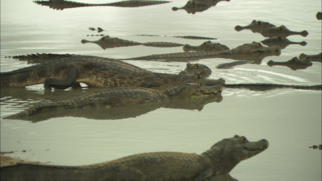 A large group of caiman swim in a lake in Brazil.