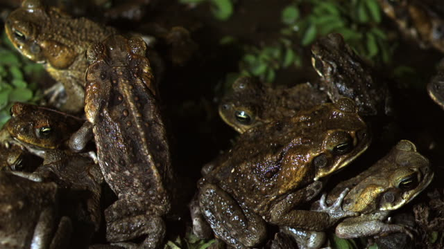 large group of cane toads - ugliness stock videos and b-roll footage