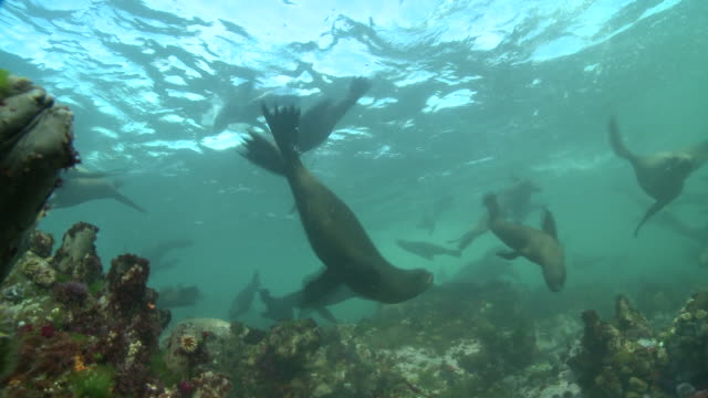 a large group of cape fur seals play over a coral reef. available in hd. - cape coral stock videos & royalty-free footage