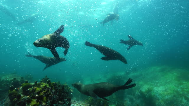 large group of cape fur seals swimming in shallow water, false bay, cape town. - seal animal stock videos and b-roll footage