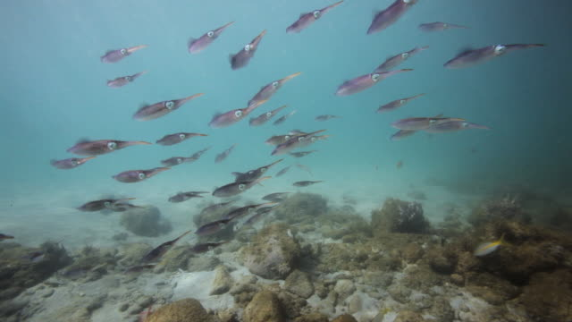 large group of caribbean reef squid - フランス海外領点の映像素材/bロール