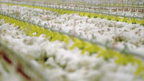 vídeos y material grabado en eventos de stock de r/f grupo de pollos en la granja avícola - ave de corral