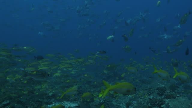 large group of coral fish swimming undersea: sea bream fish, yellow goatfish, rabbitfish - goatfish stock videos & royalty-free footage