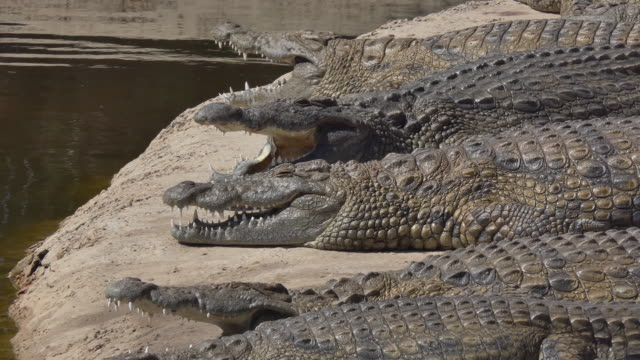 large group of crocodiles basking in the sun on the shore in africa some with open mouths - animal mouth stock videos & royalty-free footage
