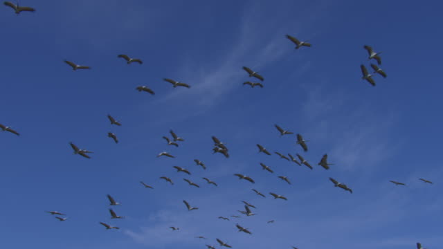 vidéos et rushes de la slo mo ws large group of demoiselle cranes circling against blue sky - large group of animals