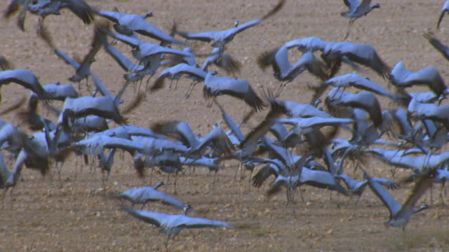 vidéos et rushes de slo mo large group of demoiselle cranes take off from camera filling frame - migration des animaux