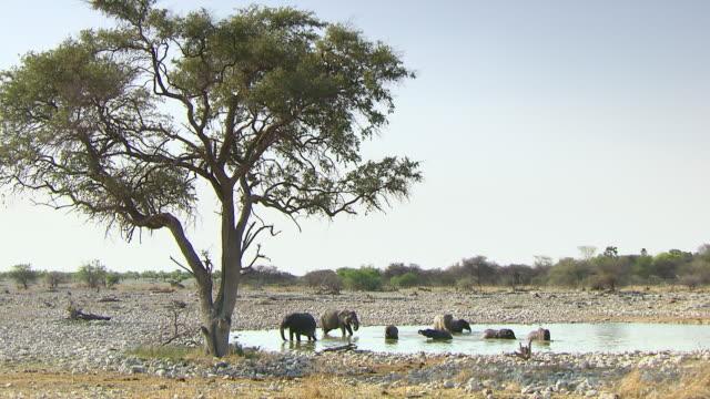 MS Large group of elephants playing in water hole at Etosha National Park / Kunene Region, Namibia