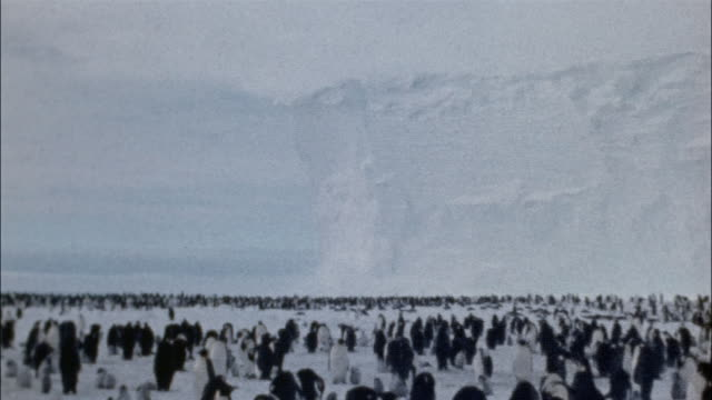 zo, ws, pan, large group of emperor penguins on snow, antarctica - emperor stock videos and b-roll footage