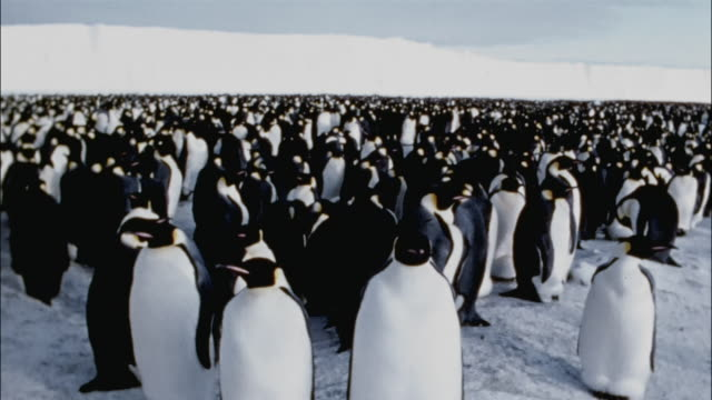 WS, PAN, Large group of emperor penguins on snow, Antarctica