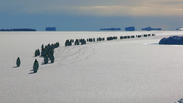 ws large group of emperor penguins walk towards with tracks visible on snow / dumont d urville station, adelie land,    antarctica - in a row stock videos & royalty-free footage