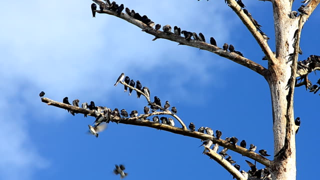Large group of European Starlings in top of dead tree
