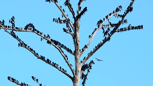 Large group of European Starlings perched on dead treetop