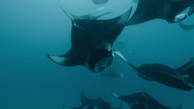 vídeos de stock e filmes b-roll de large group of feeding manta rays, indian ocean. - grande raia