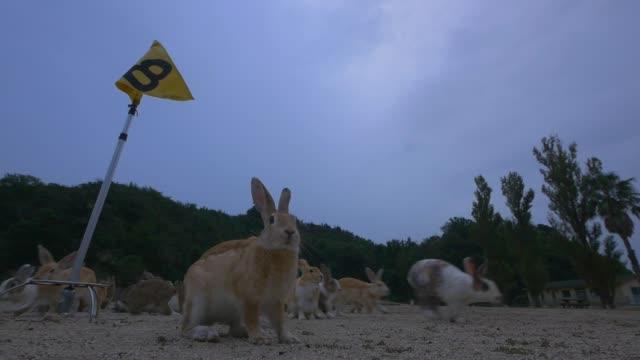 slomo large group of feral domestic rabbits on golf course in dawn light - bandierina da golf video stock e b–roll
