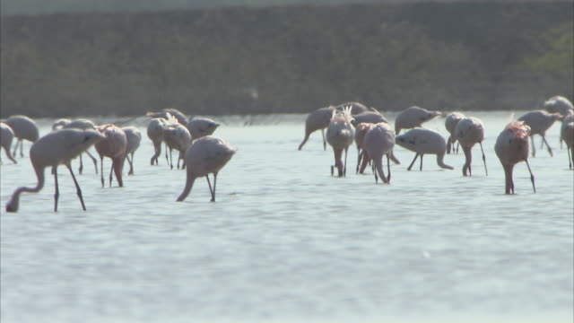 stockvideo's en b-roll-footage met a large group of flamingos feeding on plankton in the salt flats - plankton