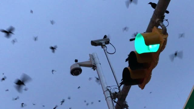 a large group of grackle birds flying over a city - audio available stock videos & royalty-free footage