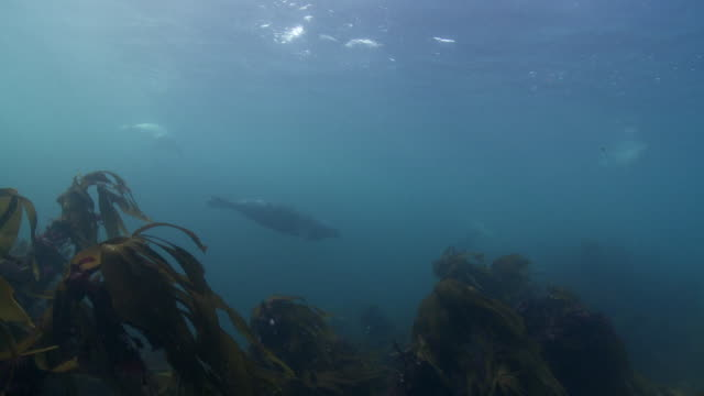 large group of grey seals swimming off kelp forest - kegelrobbe stock-videos und b-roll-filmmaterial