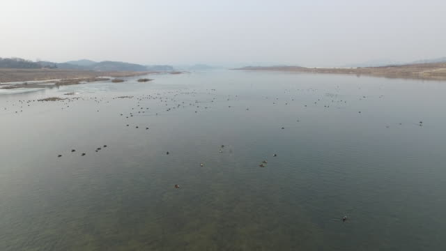 large group of mallard ducks(migratory bird) are swimming around in namhangang rive - ente wasservogel stock-videos und b-roll-filmmaterial