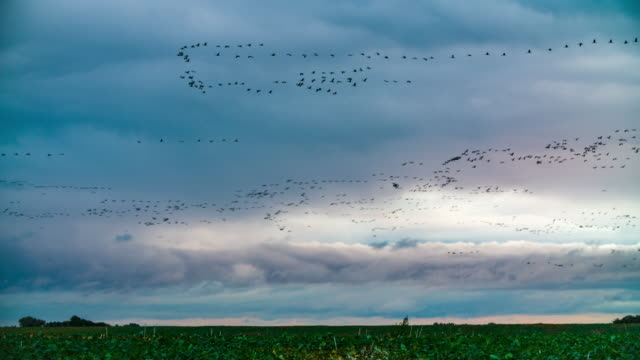 large group of migrating birds - goose stock videos & royalty-free footage