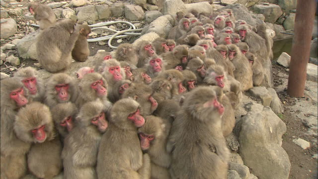a large group of monkeys huddle together. - group of animals stock videos & royalty-free footage