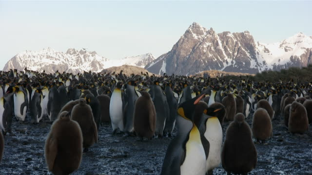 ms large group of penguins and juveniles at penguin rooky field  audio - royal penguin stock videos & royalty-free footage