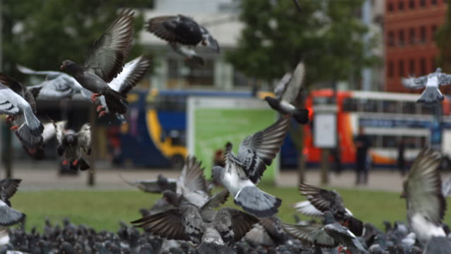MS SLO MO TU Large group of pigeons on city center green, taking off and eating / United Kingdom