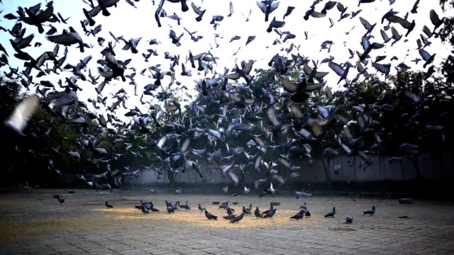 large group of pigeons - flock of birds stock videos & royalty-free footage