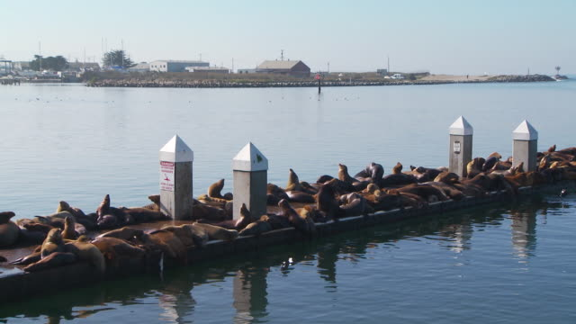 large group of sea lions resting on dock - schnurrhaar stock-videos und b-roll-filmmaterial