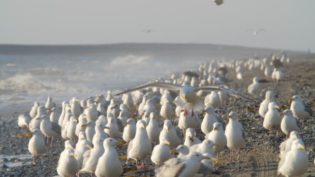 large group of seagulls on the beach at sunset in alaska - sjöfågel bildbanksvideor och videomaterial från bakom kulisserna